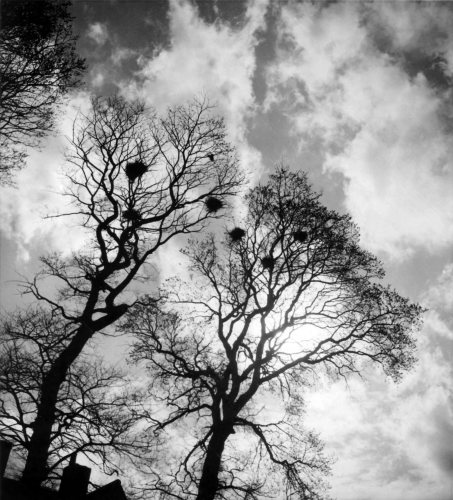 Rookery in the winter trees by Mirrorpix
