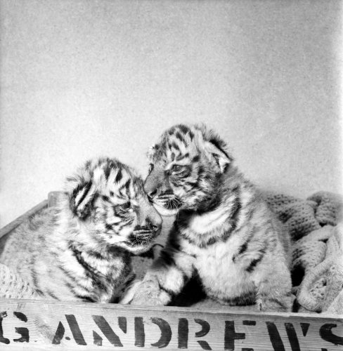 Two Royal Bengal Tiger cubs Tank and Siren by Mirrorpix