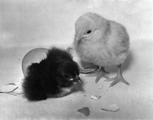 Easter chicks, 1954 by Mirrorpix