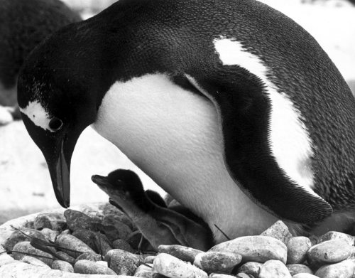 Penguin protects her brood by Mirrorpix