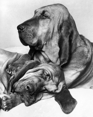 Henry the famous T.V. Commercial bloodhound by Mirrorpix