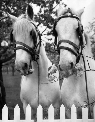 Whitbread horses by Mirrorpix