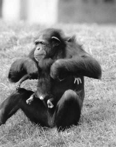 Week old chimpanzee Benson by Mirrorpix