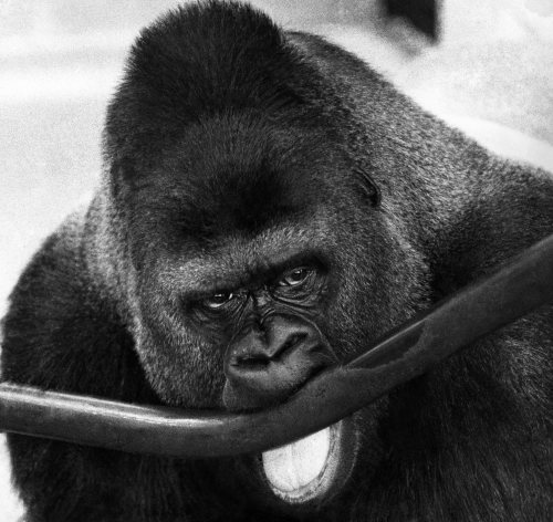 Guy the gorilla by Mirrorpix