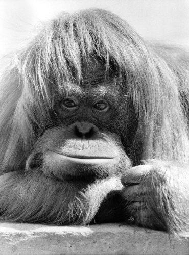 Dudley Zoo's Orang Utan Annie by Mirrorpix