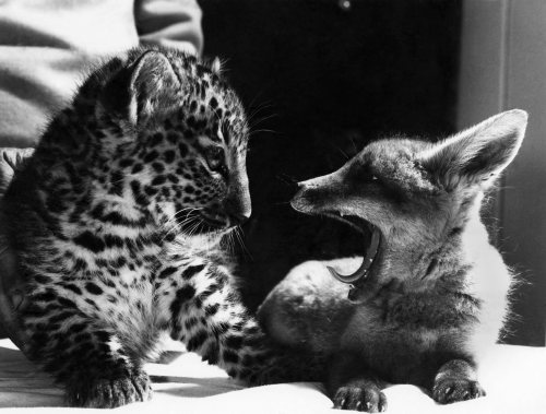 Pipp the fox and Jimbo the leopard by Mirrorpix