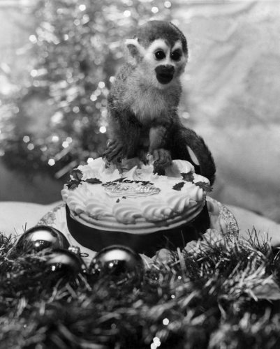 PIP the monkey at Christmas by Mirrorpix
