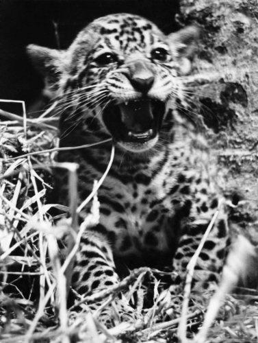 Corona (Jaguar cub) born at London Zoo by Mirrorpix