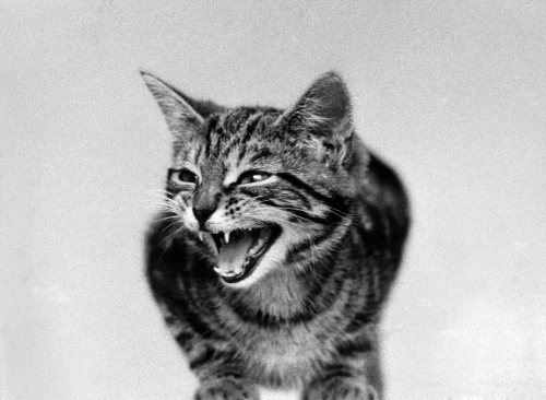 The cat that roared, 1973 by Mirrorpix