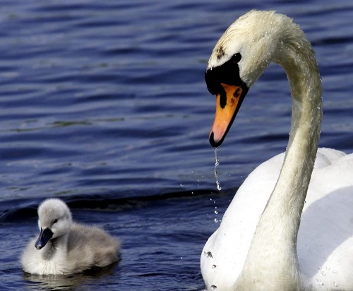 A swan and her cygnets by Mirrorpix
