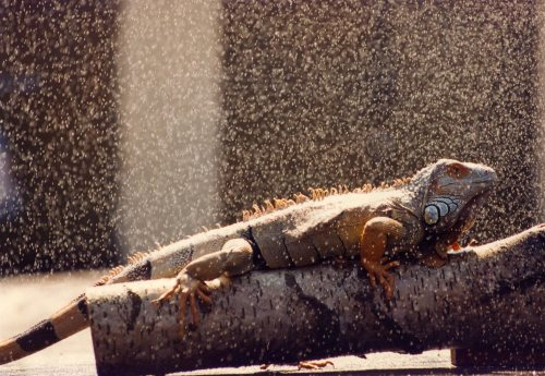 Junior the iguana cools down with a shower by Mirrorpix