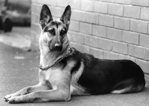 Alsatian dog by Mirrorpix