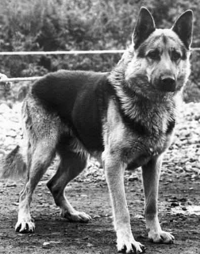 Alsatian dog by Mirrorpix