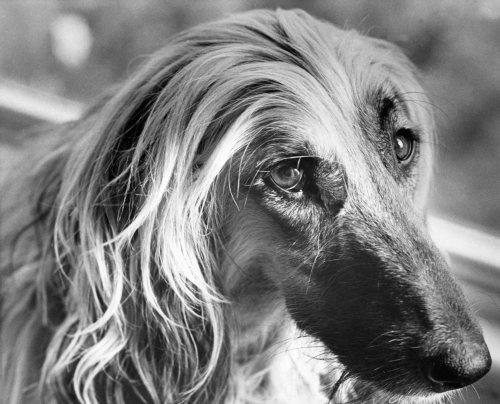 Sad Afghan Hound by Mirrorpix