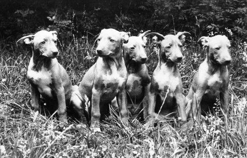 Rare Pharaoh Hound puppies by Mirrorpix
