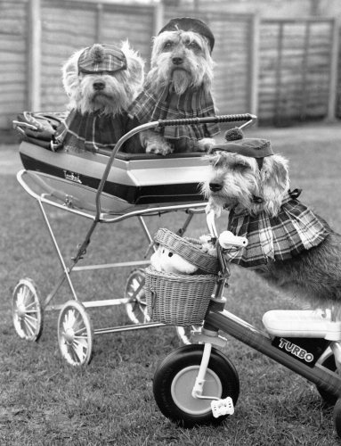 Nutmeg, Bramble in the pram and Turtle on the scooter by Mirrorpix
