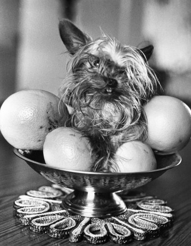 Dollar the untidy looking Yorkshire Terrier by Mirrorpix