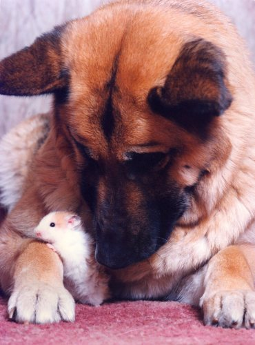 Gizmo the hamster with Sheba by Mirrorpix