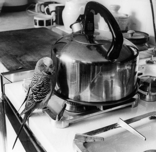 Budgie in the kitchen by Mirrorpix