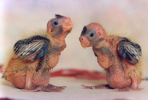 Cockateel chicks by Mirrorpix