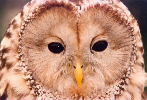 An Ural Owl by Mirrorpix