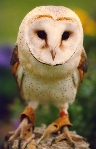 A Barn Owl by Mirrorpix