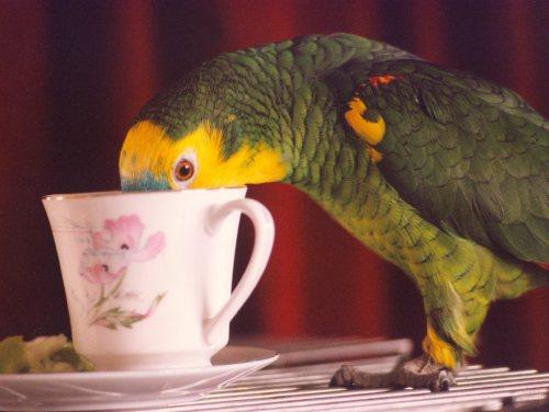 Bosun the parrot by Mirrorpix
