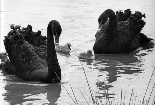 Australian black swans with their cygnets by Mirrorpix
