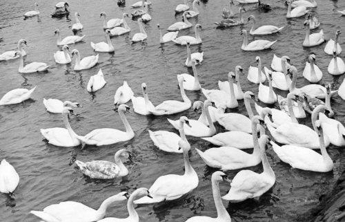 Berwick swans by Mirrorpix