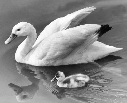 Proud swan shows off her single cygnet by Mirrorpix