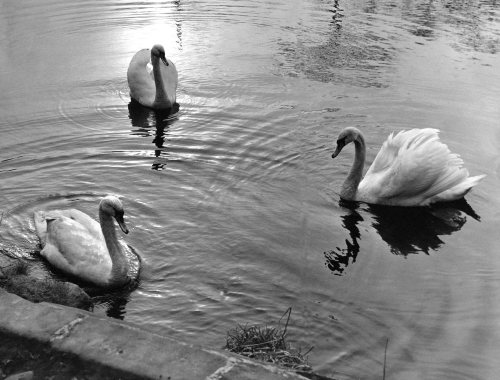 Three swans a serenely floating on Bolam Lake by Mirrorpix