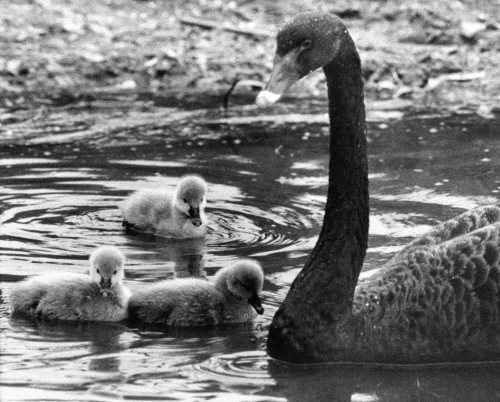 Black swan with her cygnet triplets by Mirrorpix