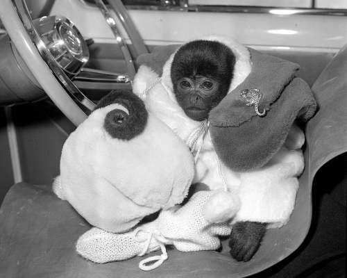 Jo-Jo the South American monkey by Mirrorpix