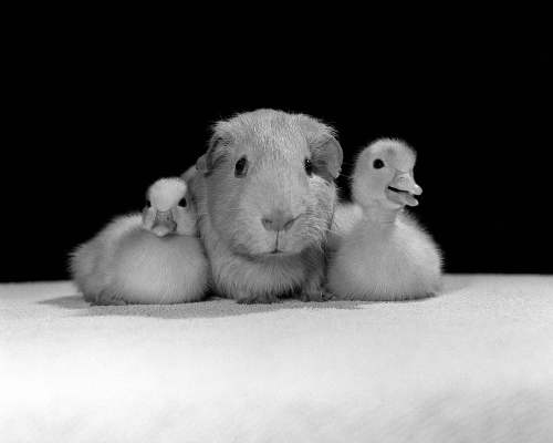 Guinea Pig and Ducklings by Mirrorpix