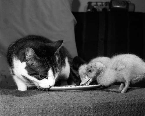 Two ducklings and Perky the cat by Mirrorpix