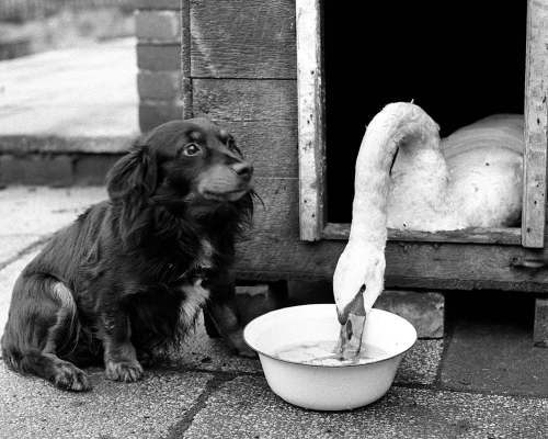 Swan and Dog by Mirrorpix