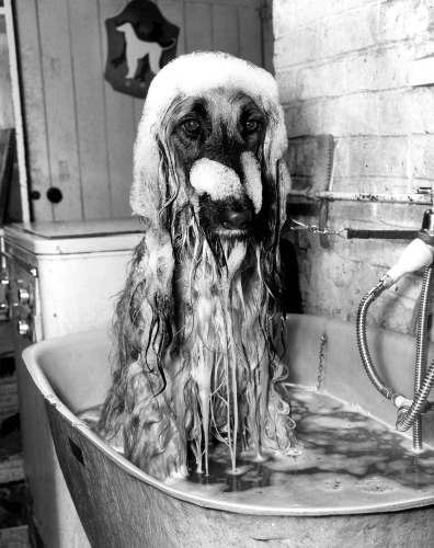 Afghan Hound, 1979 by Mirrorpix