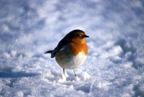 Robin in snow, 1979 by Mirrorpix