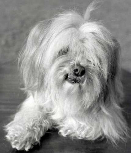 Apso a Tibetan breed of dog by Mirrorpix