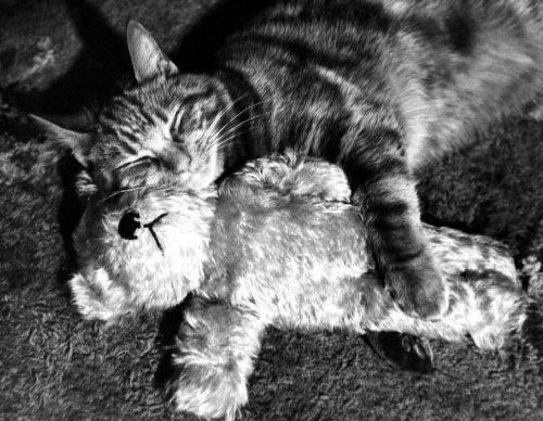 Cat and teddy bear hugging by Mirrorpix