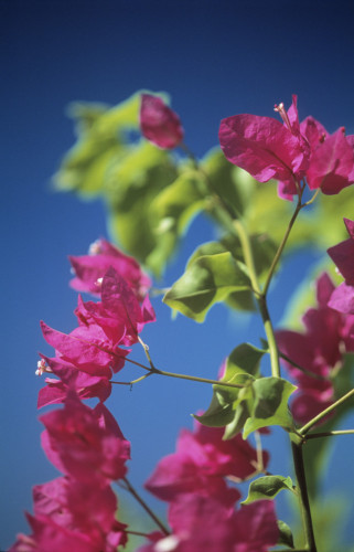Bougainvillea by John Bellars