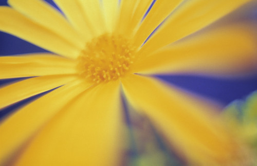 Bellis, Daisy by Mike Bentley