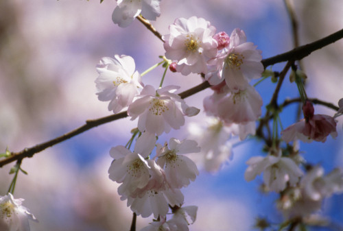 Prunus 'Amanogawa', Cherry by Mike Bentley
