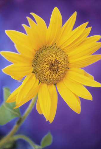 Helianthus annus, Sunflower by Mike Bentley