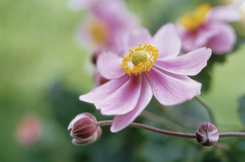 Anemone hupehensis, Anemone by Mike Bentley