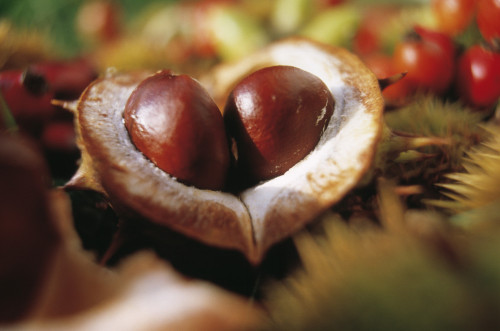 Aesculus hippocastanum, Horse chestnut conker by Mike Bentley
