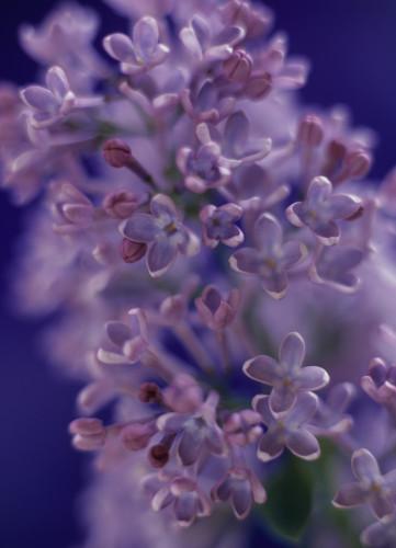 Syringa, Lilac by Martin O'Neill