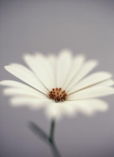 Osteospermum, Osteospermum by Martin O'Neill