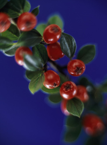 Cotoneaster, Cotoneaster by Martin O'Neill