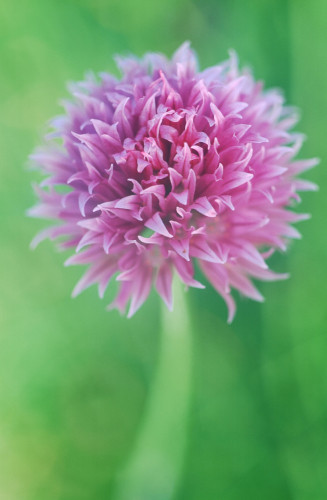 Allium schoenoprasum, Chive by Michael Peuckert